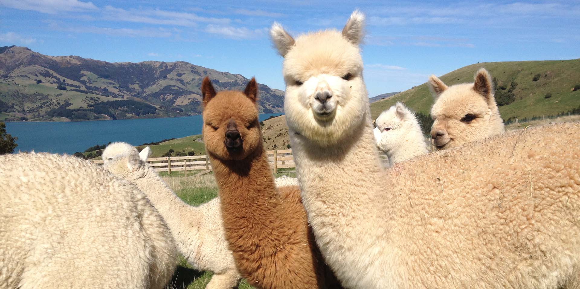 SMALL BREEDS RANGE – ALPACA SHELTERS & PONY STABLES